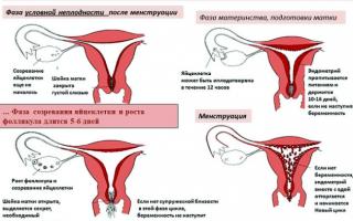 Сколько крови теряет женщина во время месячных?